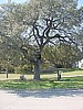 Brigadoon Oak Tree (BSW Logo)